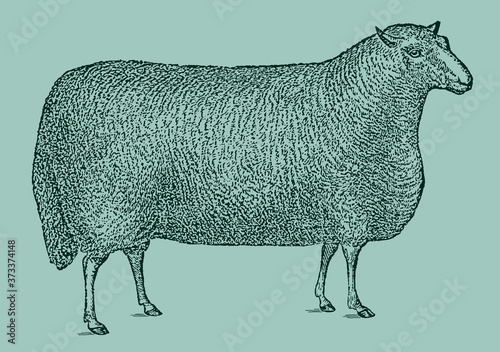 Cuadros en Lienzo Rectangular shaped Cheviot sheep ram in side view isolated on a green background, after an antique illustration from the 19th century