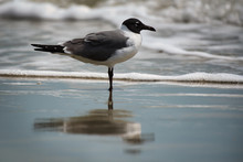 A Laughing Gull In The Surf Wi...