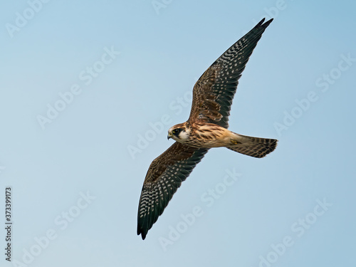 Red-footed falcon (Falco vespertinus) Wallpaper Mural