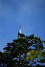 高木の上に立つアオサギと青空