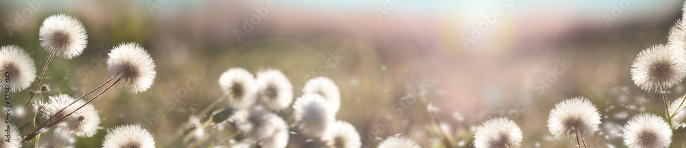 Fototapeta Flower panorama. Blurred natural background. Delicate natural background in pastel colors. Fluffy flowers