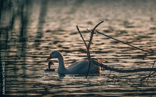 Wild duck Canvas