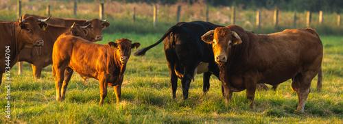 Obraz na plátně herd of beef cattle on a summer pasture