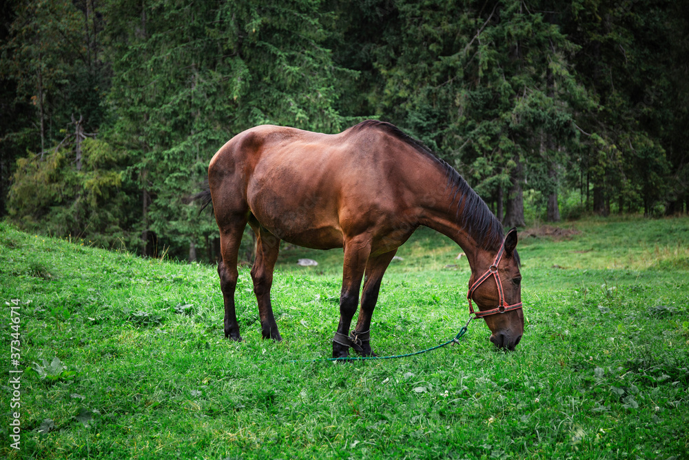 Horse eating grass in a meadow. Brown horse and forest in the background. Domestic horse on green background