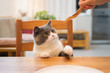 canvas print picture - British shorthair cat sits at the table and teases it with food