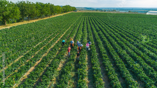 aerial top view of People gathering pepper in the rows in field Fototapet