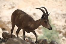 Mountain Goats Of The Judean Desert In Ein Gedi Park