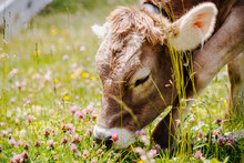 Cow Eating Grass, Herbs And Clover On A Alpine Pasture
