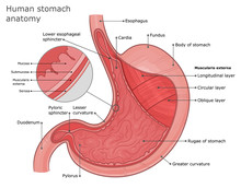 Stomach Anatomy Illustration. External And Internal Structure Of The Stomach. Stomach Layers Anatomy.