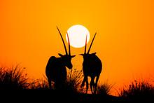 Beautiful Shot Of Arabian Oryx Antelope Silhouette During The Sunset
