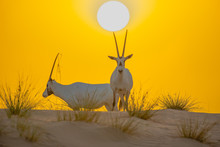 Beautiful Shot Of Arabian Oryx...