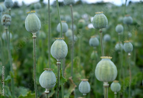 field of poppy seed capsules, selective focus - 373505136