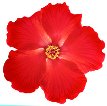 Bright Large Flower Of Red Hib...