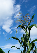 Sweet Corn Tassels Against A Blue Sky With Puffy Clouds