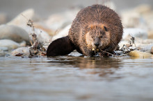 Beaver In The Canadian Rivers