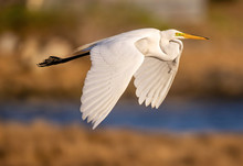 Great Egret In Flight Over Coastal Maine Estuary