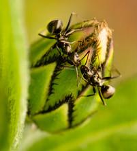 Little Black Ants Feed On Bachelor Button Flower Blossom