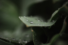 Close Up Of Water Droplets On Green Leaves After A Rain.
