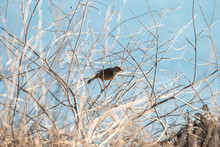 A Sparrow Sits In The Coastal Brush In California