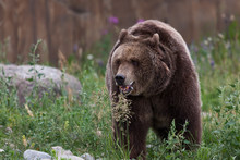 Grizzly Bear Walking In The Gr...