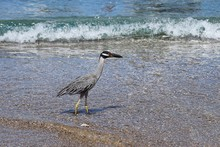 Yellow Crowned Night Heron Wading On A Shoreline With A Light Surf In The Background