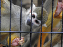 Squirrel Monkey Behind Bars
