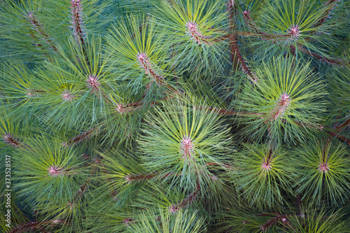 A pine with long needles seen from above