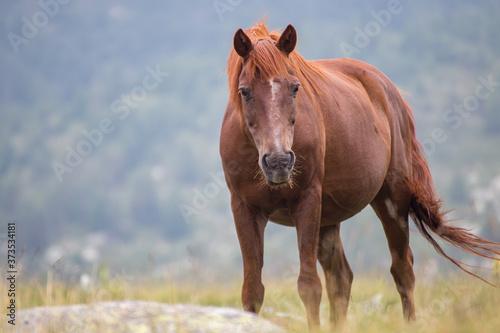 Fotografija Wild free horses eating and walking in Pirin mountain, Bulgraia