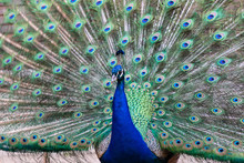 Male Peacock Showing His Plumage And Tail
