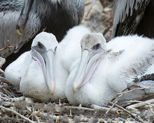 Brown Pelican Stock Photos.  Brown Baby Pelican Close-up Profile View.  Baby Pelicans Resting. Image. Portrait.  Picture. Photo.