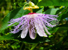 A Delicate Purple Flower With A Lace-like Outer Petals And A Yellow Top