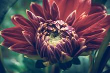 Garden Dahlias. Detail Photos ...