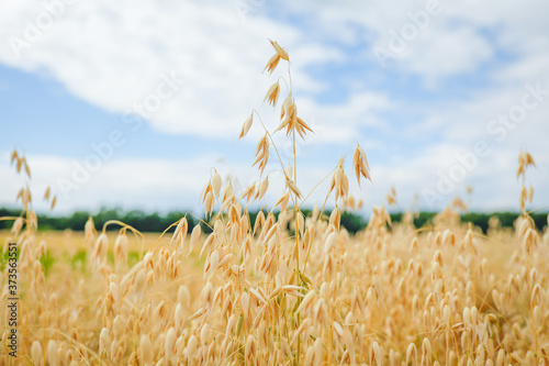 Photo Ripe ears of oats against a sky