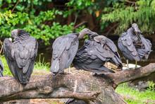 American Black Vultures (Corag...
