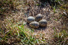 A Spur Winged Plover Nest Out In An Open Field In August, New Zealand