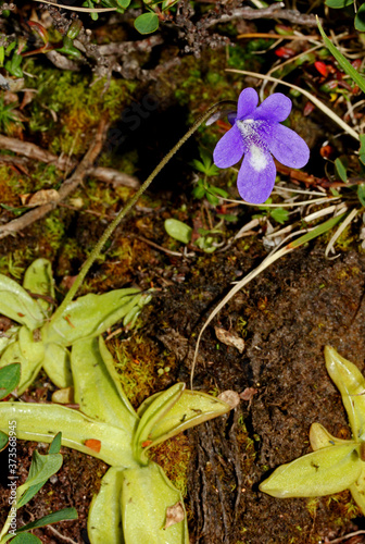 Cuadros en Lienzo piccola pianta carnivora (Pinguicula vulgaris)
