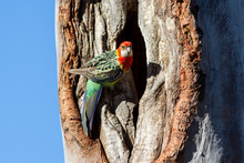 Eastern Rosella At Nest Hole In Large Gum Tree
