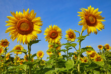Sunflower Field With Happy Yellow Flowers Turning Towards The Sun On A Beautiful Blue Sky Day In Summer