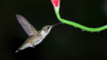 A Ruby-Throated Hummingbird Drinks A Drop Of Nectar From The Stem Of A Lilly In Oklahoma