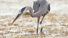 Great Blue Heron Catching Fish Among Seaweed At Beach Ocean In Slow Motion