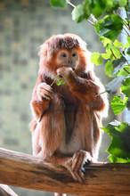 An Ebony Leaf Monkey  Eatr Leaves