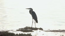 Great Blue Heron Standing On Reef Rock With Sun Shining In Background Ocean Water Waves