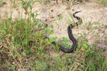 Viper Snake  Crawling On Sand.