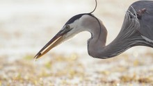 Great Blue Heron With Fish Clasped In Bill Beak At Beach Among Seaweed In Slow Motion