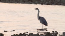 Great Blue Heron Calling On Rocky Beach Shore In The Morning