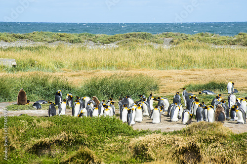Colony of king penguins at Tierra el Fuego in Chile Wallpaper Mural
