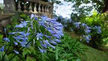Blue Agapanthus Flowers, Close...
