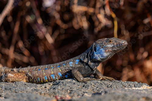 Photo Closeup of an agama in wild nature