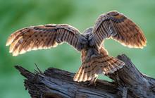 Barn Owl Habitat, Portrait And...