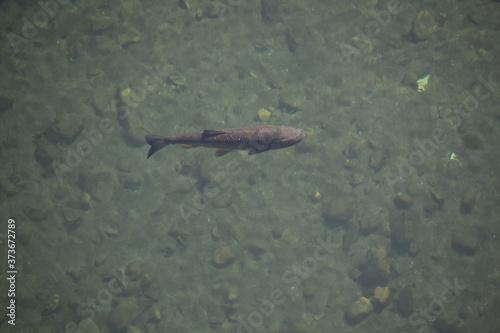 Fische in der Nähe der Quelle des Tarn in Frankreich in klarem Gebirgswasser Canvas Print
